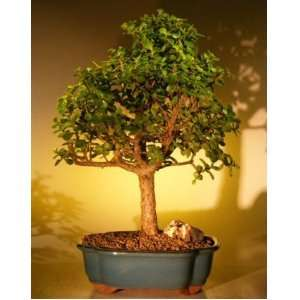 Bonsai Boys Baby Jade Bonsai Tree   Extra Large Portulacaria Afra