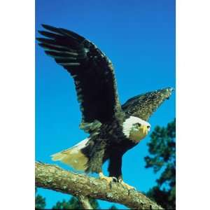 Raptor Bald Eagle Bird Animals Pets Peel And Stick Wall Decal Sticker